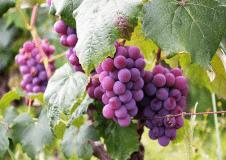 Kusal Vineyard